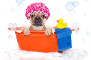 pug taking a bath