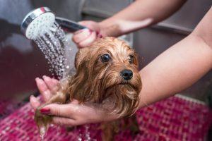 Yorkshire shampoo